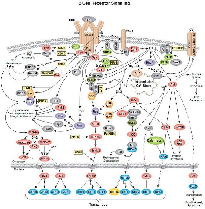 艺术囹�a�b&��#�+���_b cell receptor 信号通路图