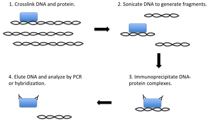 染色质免疫沉淀的流程示意图 检测蛋白质-核酸分子间的相互作用 染色质免疫沉淀 染色质免疫沉淀(CHIP)最初是在20世纪80年代研究RNA聚合酶II与靶基因相互作用的过程中发展起来的 [1] 。在此过程中,细胞被固定在甲醛或类似的固定剂中以使细胞DNA和相关蛋白分子发生交联。固定的细胞随后经超声处理,使细胞中的DNA-蛋白质复合物断裂为100-300 bp的片段,然后用结合在DNA上的特异性蛋白(如组蛋白和转录因子)的抗体,按照标准方法免疫沉淀相关的DNA片段。最后,通过去交联分离DNA-蛋白复合物,再