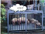 犊牛电子称上海厂家,称活畜用带围栏电子秤